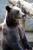 Bear. The wild bear sits against a tree Royalty Free Stock Photos