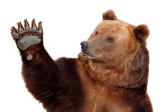 Bear. Brown bear paw waving. Welcome Stock Photo