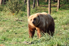 Bear. (Ursus arctos) standing near the wood Royalty Free Stock Photography