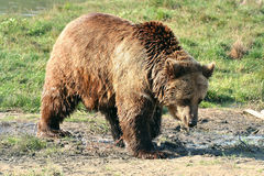 Bear. (Ursus arctos) walking across the meadow Royalty Free Stock Photo