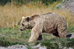 Bear. (Ursus arctos) walking on the meadow Stock Image
