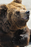 Bear. Brown Bear is the most widely distributed bear or related species, which can see in many parts of Eurasia and North America Stock Photography