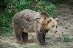 Bear Stock Image