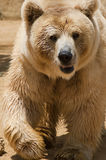 Bear. Sandy coloured bear looking straight at you royalty free stock photo