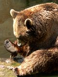 Bear. A bear looking interestedly at his foot stock photo