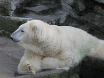 Bear. White bear in the zoo Royalty Free Stock Photography