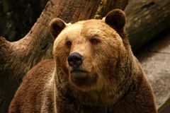 Bear. Big grizzly bear in the forest Stock Images