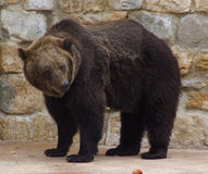 Bear. Standing at the zoo Stock Image