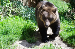 Bear Stock Photography