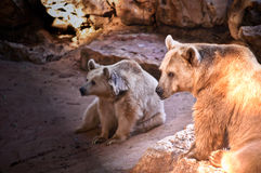 Bear . Syrian brown bear ( Ursus arctos syriacus stock images