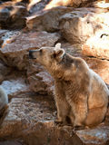 Bear . Syrian brown bear ( Ursus arctos syriacus Stock Photos