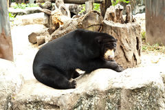 Bear. In the zoo of thailand Royalty Free Stock Photo