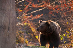 Bear. One beautiful bear in the forest Romania Stock Photo