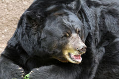 Bear. Black Bear With Tan Nose Sitting In Sun Stock Photo
