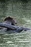 Bear. The brown bear (Ursus arctos), large bear distributed in northern Eurasia and North America, playing in water with log stock photos