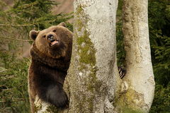 Bear. Brown bear in the forest Stock Images
