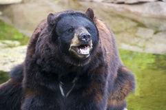 Bear. A bear sits on a stone Royalty Free Stock Photography