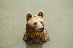 Bear. Small bear in the river Royalty Free Stock Photos