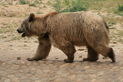 Bear. Brown Bear walking in the zoo Stock Photos