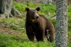 Bear Stock Photo