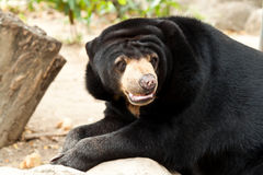Bear. In zoo of thailand Stock Photos