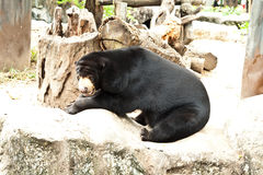 Bear. In zoo of  thailand Royalty Free Stock Photo