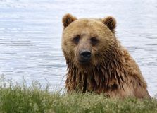 Bear_3 Royalty Free Stock Image