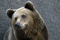 A Bear. A portrait of a euro-asian brown bear Royalty Free Stock Images