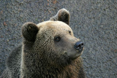A bear. A portrait of a euro-asian brown bear Stock Images