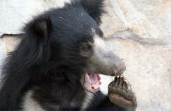 Bear. The bear from Moscow zoo. Melursus ursinus Stock Photography