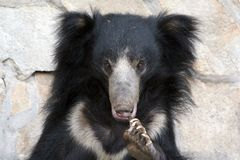 Bear. The bear from Moscow zoo. Melursus ursinus Royalty Free Stock Images