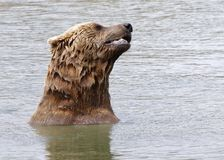 Bear_5 Royalty Free Stock Image