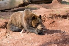 Bear. Lying on the ground Stock Photography