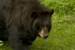 Free Bear Stock Image - 56544761