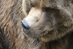 Bear. Brown Bear or a Grizzly Stock Photography