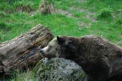 Bear. Sleeping Stock Images