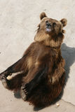 Bear. Carnivora, Bear Branch is the Omnivorous large mammals, mainly meat. From tropical to frigid zone are distributed Royalty Free Stock Photography