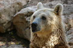 Bear. Siberian bear Stock Photo