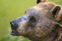 Bear. Brown bear at the safari royalty free stock photo