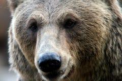 Bear. The face of wild bear Stock Image