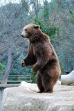 Bear. A bear standing up in a zoo Royalty Free Stock Images