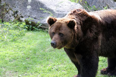 Bear. Brown bear looking forward Royalty Free Stock Photo