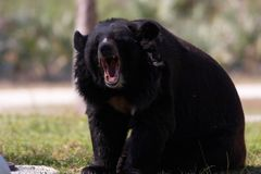 Bear. Roar Royalty Free Stock Images