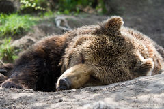 Bear. It is a sleeping brown bear in a forest Stock Images