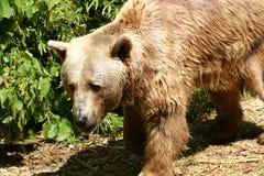 Bear. Brown bear Royalty Free Stock Photos