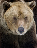 Bear. Big portrait closeup of brown bear Royalty Free Stock Image