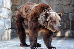 Bear. Grizzly bear Stock Photography