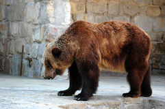 Bear. Grizzly bear Royalty Free Stock Photography