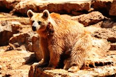Bear. Syrian Bear Sitting On The Stone After Bathing Royalty Free Stock Image