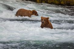 Bear on Alaska Royalty Free Stock Photography